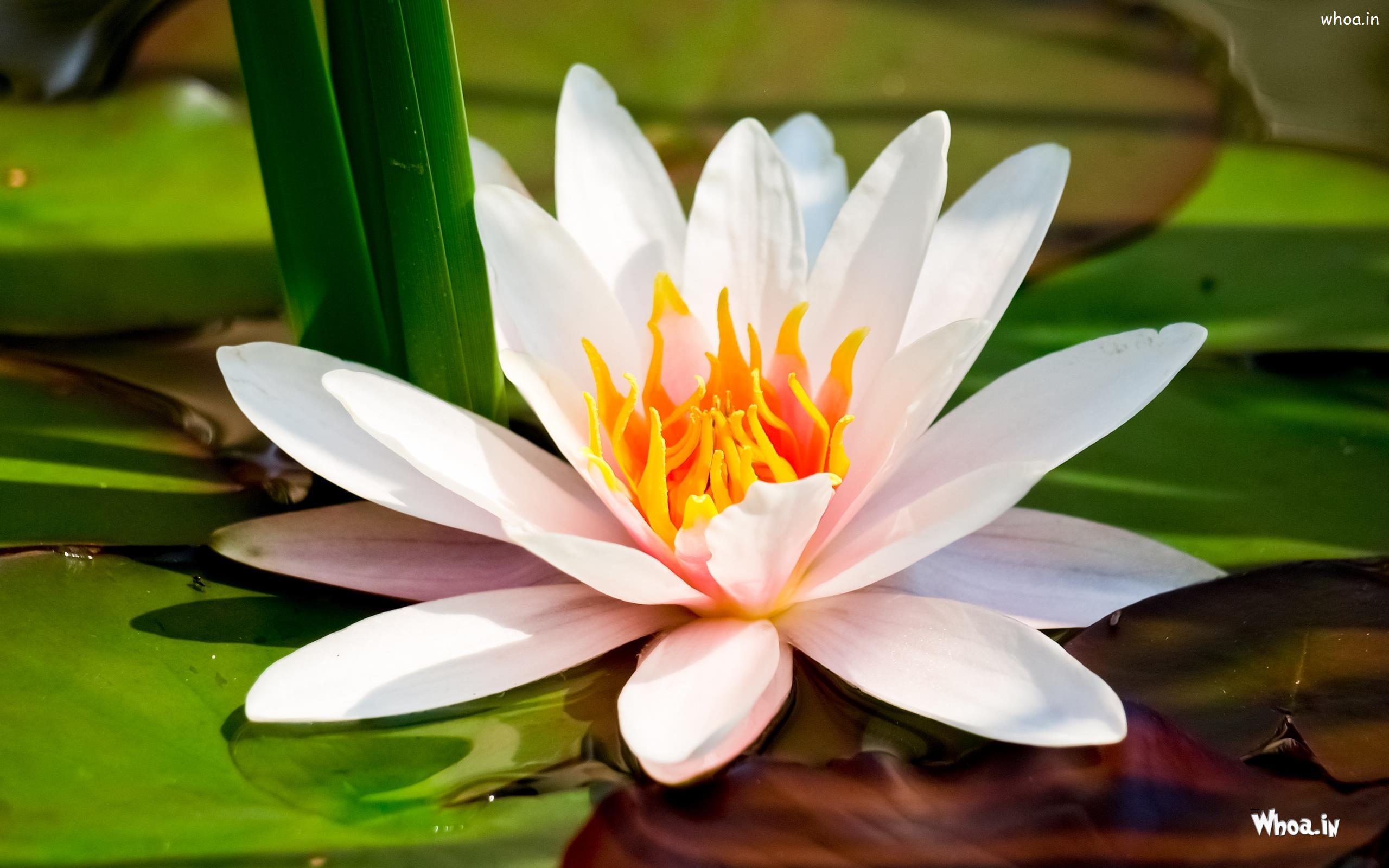 Group Of White Lotus Hd Wallpaper