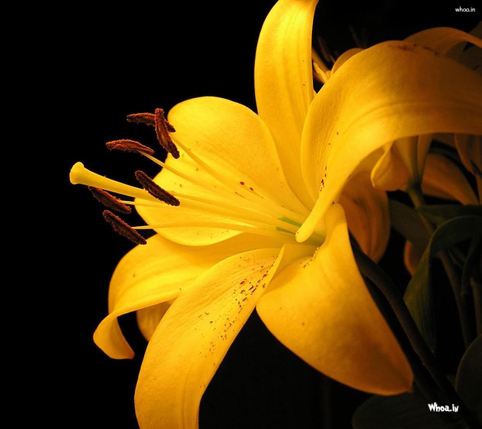 Yellow Flower Hd Wallpaper